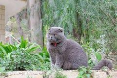 Gray British flott katt på en bakgrund av gröna växter Royaltyfria Foton
