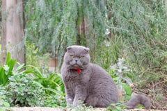 Gray British flott katt på en bakgrund av gröna växter Arkivfoton