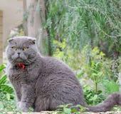 Gray British flott katt på en bakgrund av gröna växter Royaltyfri Bild