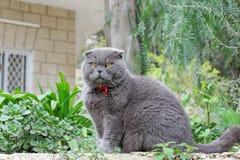 Gray British flott katt på en bakgrund av gröna växter Arkivbild