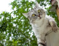 Gray haircut cat climb on the green background Royalty Free Stock Photos