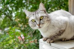 Gray british haircut cat in the green garden Royalty Free Stock Image