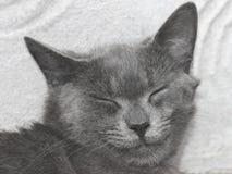 Gray British katt med stängda ögon Royaltyfria Bilder