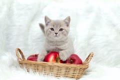 Gray British katt på en vit bakgrund Arkivbild