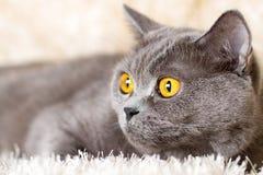 Gray British katt som ligger på en ljus matta Arkivfoton
