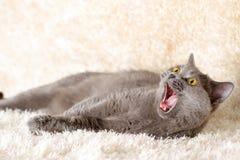 Gray British katt som ligger på en ljus matta Royaltyfria Foton