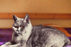 Gray British katt som ligger på en soffa Arkivbild