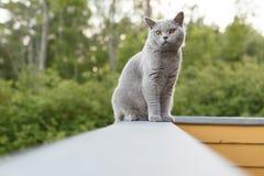 Gray British katt som utanför ligger Arkivbilder