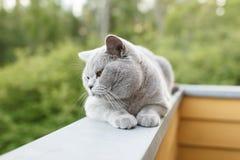 Gray British katt som utanför ligger Royaltyfri Foto
