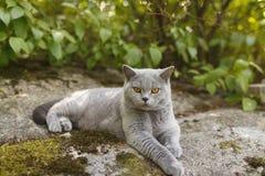 Gray British katt som utanför ligger Royaltyfri Fotografi