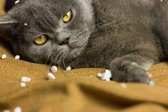 Gray British-Katze, die zurück auf seiner liegt lizenzfreie stockfotografie