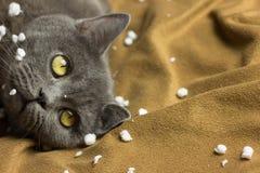Gray British-Katze, die zurück auf seiner liegt stockbild