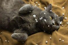 Gray British-Katze, die zurück auf seiner liegt stockbilder