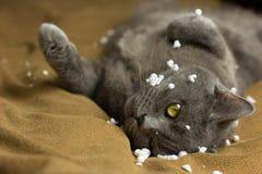 Gray British-Katze, die zurück auf seiner liegt lizenzfreies stockfoto