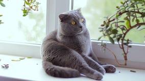 Gray British-Katzenzucht sitzt auf einem Fenster stock video footage