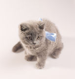 Gray british kitten Royalty Free Stock Photography