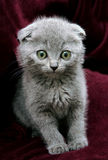Gray british kitten Stock Photo