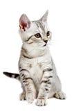 Gray british kitten Royalty Free Stock Photos
