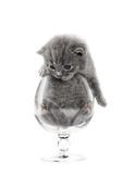 Gray british kitten Stock Image