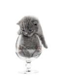 Gray British Kitten Stock Image