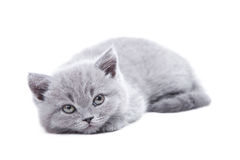 Gray British kitten Royalty Free Stock Photo