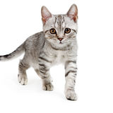 Gray british kitten Stock Images