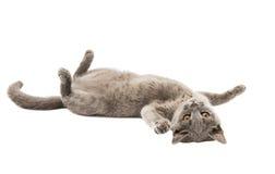 Gray British kitten Stock Images
