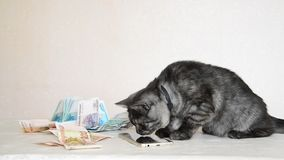 Gray British kitten playing with smartphone and Russian money