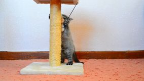Gray british kitten playing with toy and scratching post