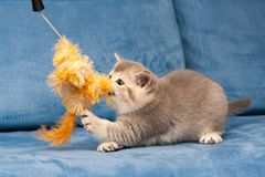 Gray British kitten plays with the furry orange toy. On the blue sofa, the cat biting the toy royalty free stock photo