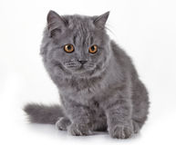 Gray british long hair kitten Stock Photos
