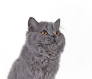 Gray british long hair kitten Royalty Free Stock Photos