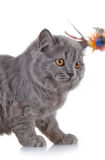 Gray british long hair kitten Royalty Free Stock Images