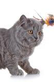 Gray british long hair kitten Royalty Free Stock Images