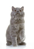 Gray british long hair kitten Royalty Free Stock Photos