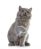 Gray british long hair kitten Stock Images