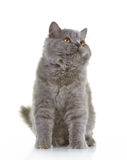 Gray british long hair kitten Royalty Free Stock Photography