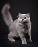 Gray british longhair kitten Royalty Free Stock Images
