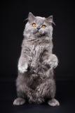 Gray british longhair kitten Stock Photos