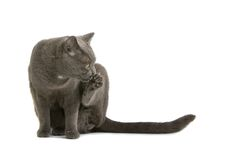 Gray British Short-haired Cat Stock Images