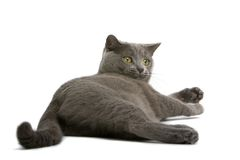 Free Gray British Short-haired Cat Royalty Free Stock Image - 2726566