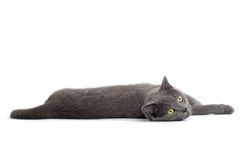Gray British Short-haired Cat Royalty Free Stock Image