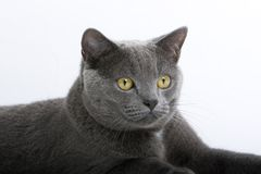 Gray British Short-Haired Cat Stock Photography