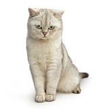 Gray British shorthair cat. Royalty Free Stock Photography
