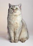 Gray British Shorthair. Royalty Free Stock Photography