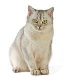 Gray British Shorthair. Royalty Free Stock Images