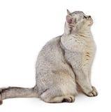 Gray British Shorthair. Royalty Free Stock Photo