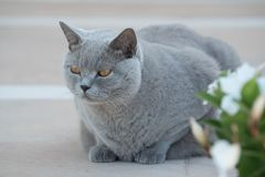 Cat master. Relax concept. Gray British Shorthair cat is sitting on the floor near flowers waiting Stock Photo