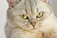 Gray British Shorthair. Stock Photos