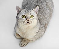 Gray British Shorthair. Stock Image